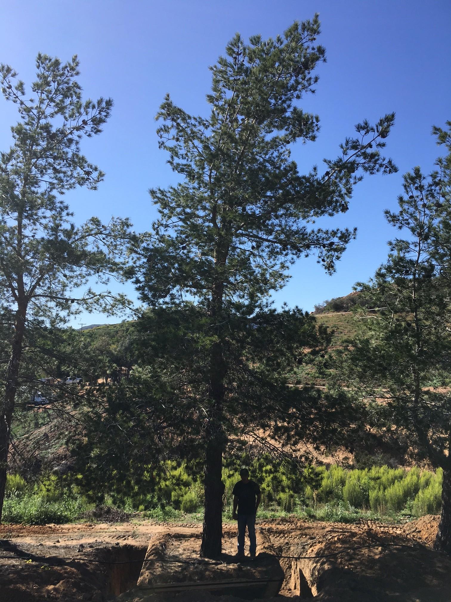 Pinus eldarica afghan pine big trees nursery