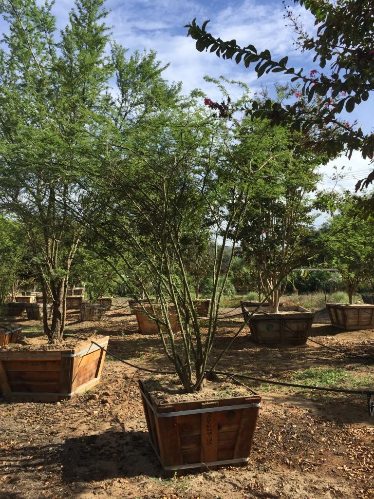 Acacia smallii-MS-265-36