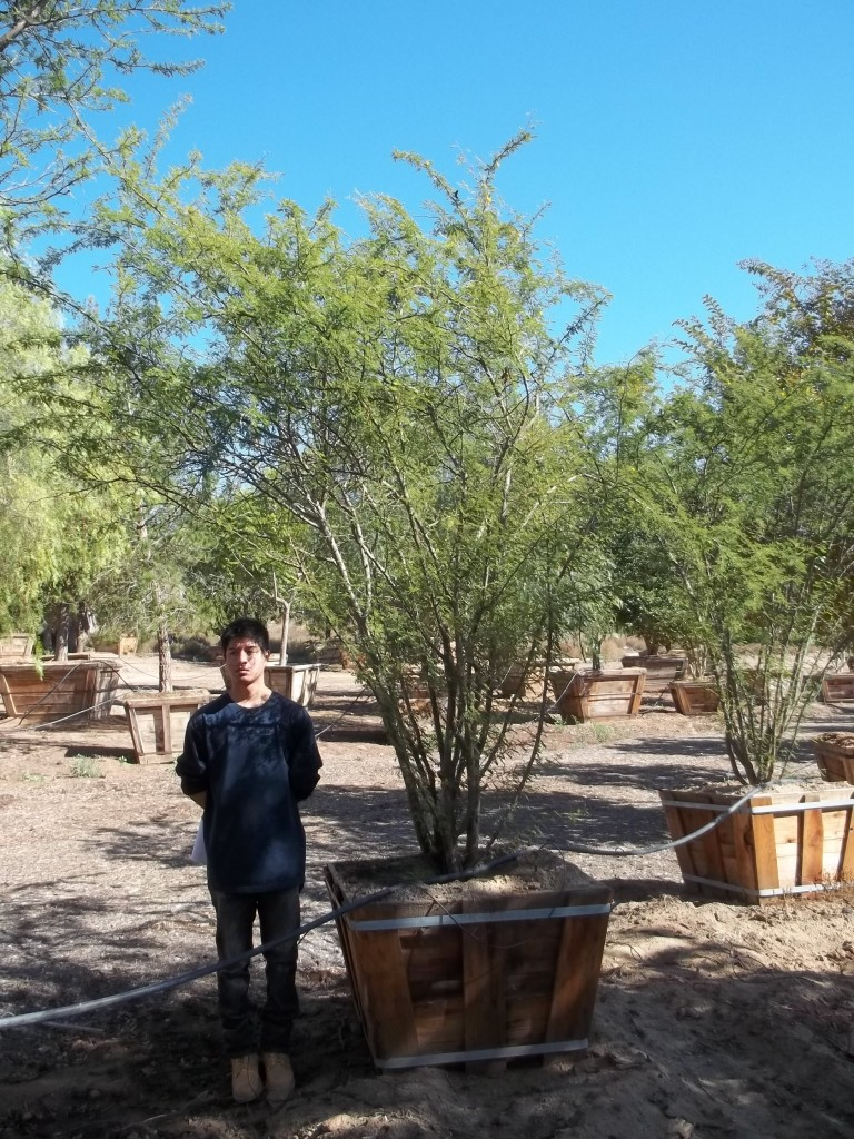 Acacia smallii-MS-283-36