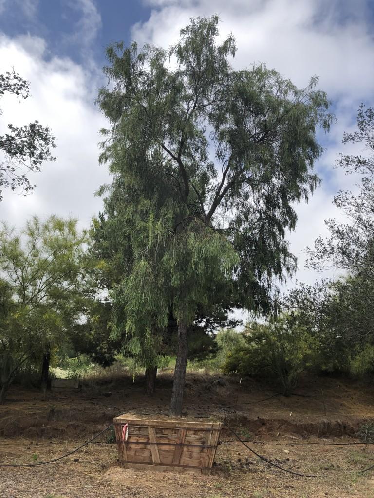 Acacia stenophylla-M-131-84