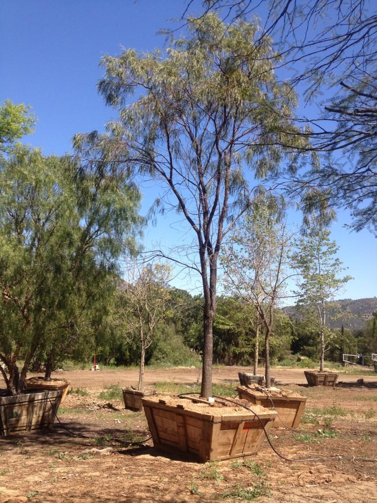 Acacia stenophylla-M-131-72