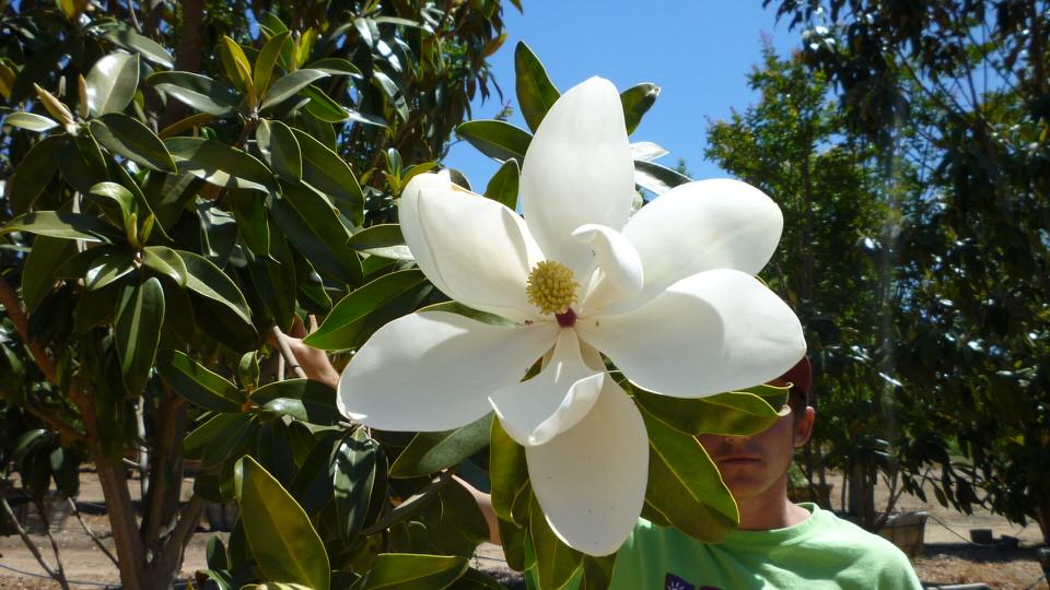 Magnolia Alta-flwr