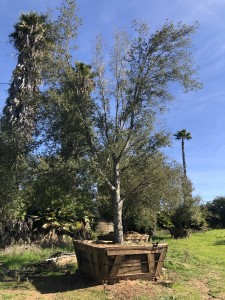 Quercus agrifolia – Coastal Live Oak