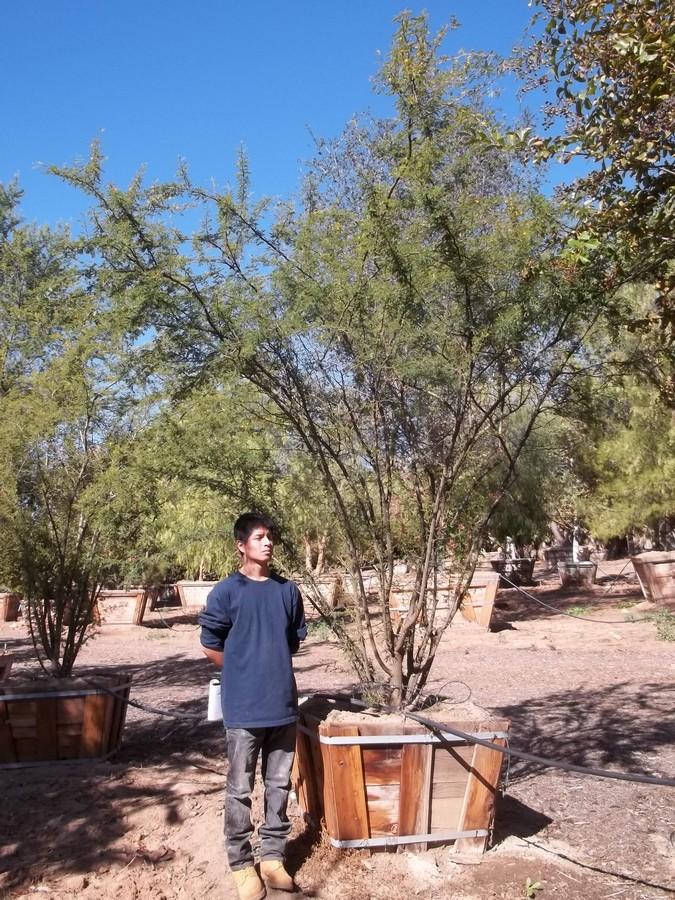 Acacia smallii-MS-284-36-a