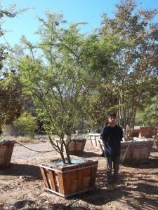 Acacia smallii