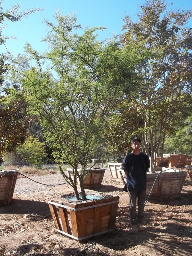 Acacia smallii-MS-289-36-a