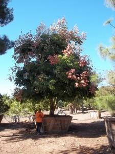 Koelreuteria bipinnata – Chinese Flame Tree