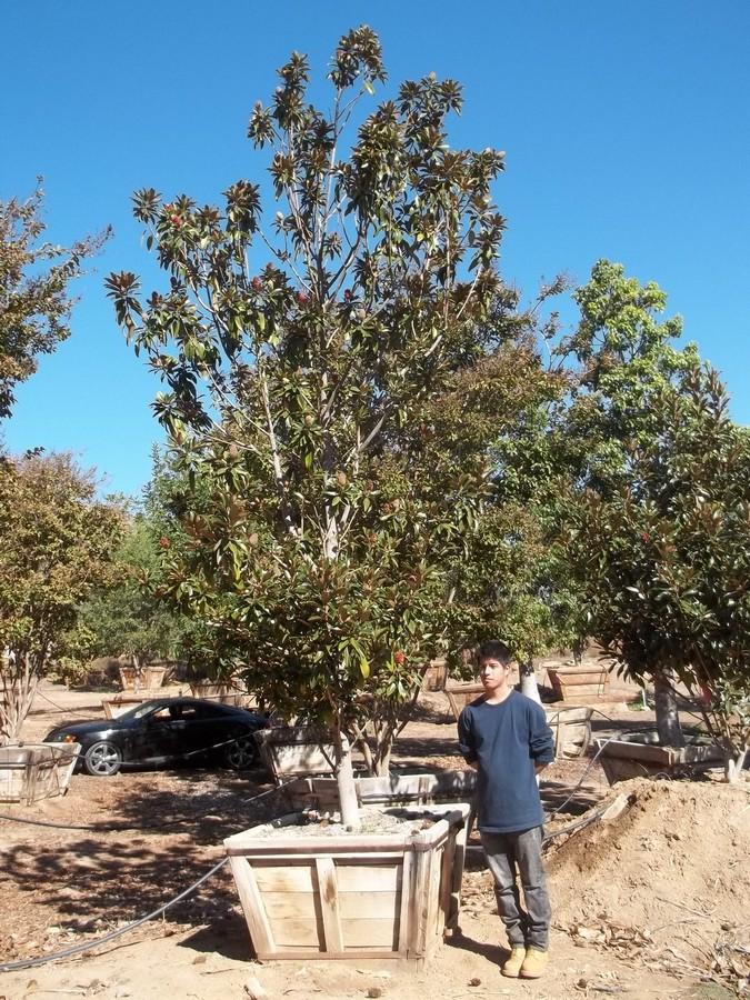 Magnolia Alta-M-174-42