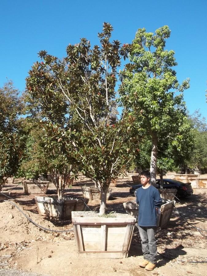 Magnolia Alta-M-176-42