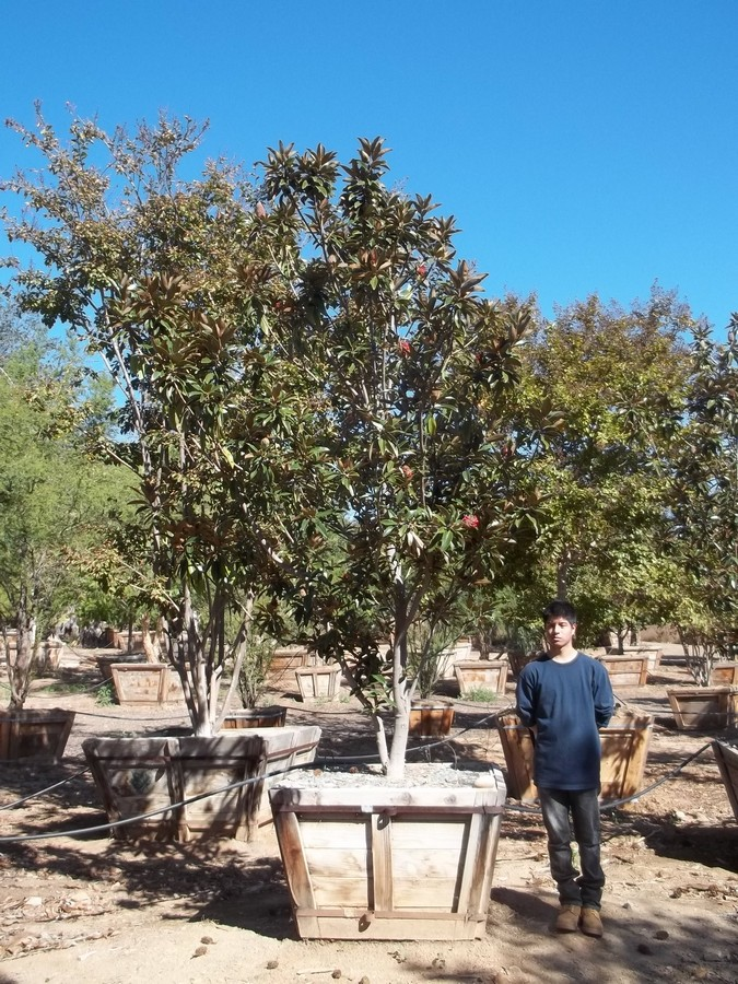 Magnolia Alta-M-178-42-a