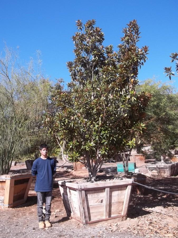 Magnolia Alta-M-184-48-a