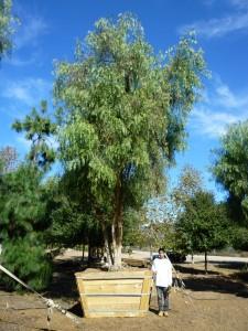 Schinus molle – California Pepper