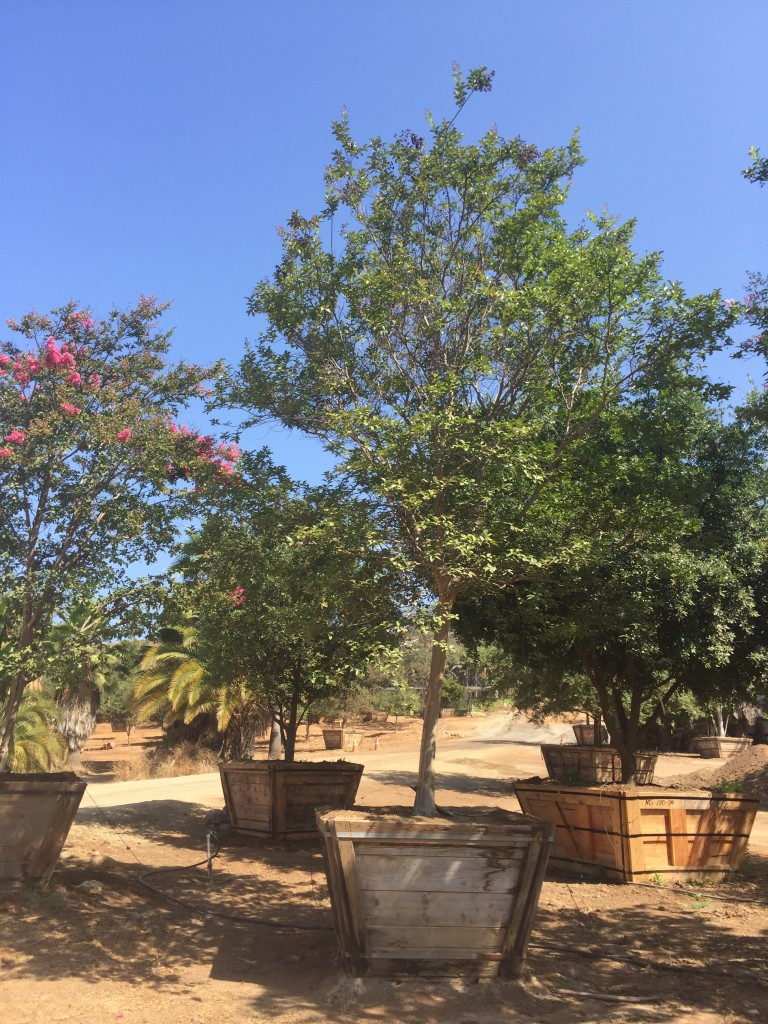 Lagerstroemia Moskogee-M-207-60-a