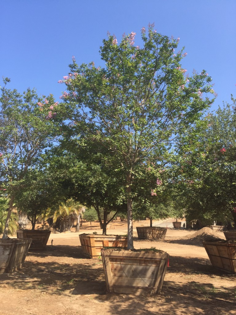 Lagerstroemia Moskogee-M-208-60-a