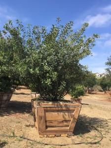 Heteromeles arbutifolia – Toyon