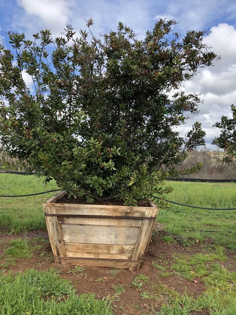 Heteromeles arbutifolia-S-113-60