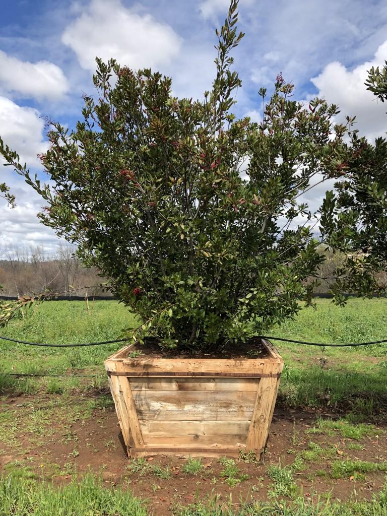 Heteromeles arbutifolia-S-116-60
