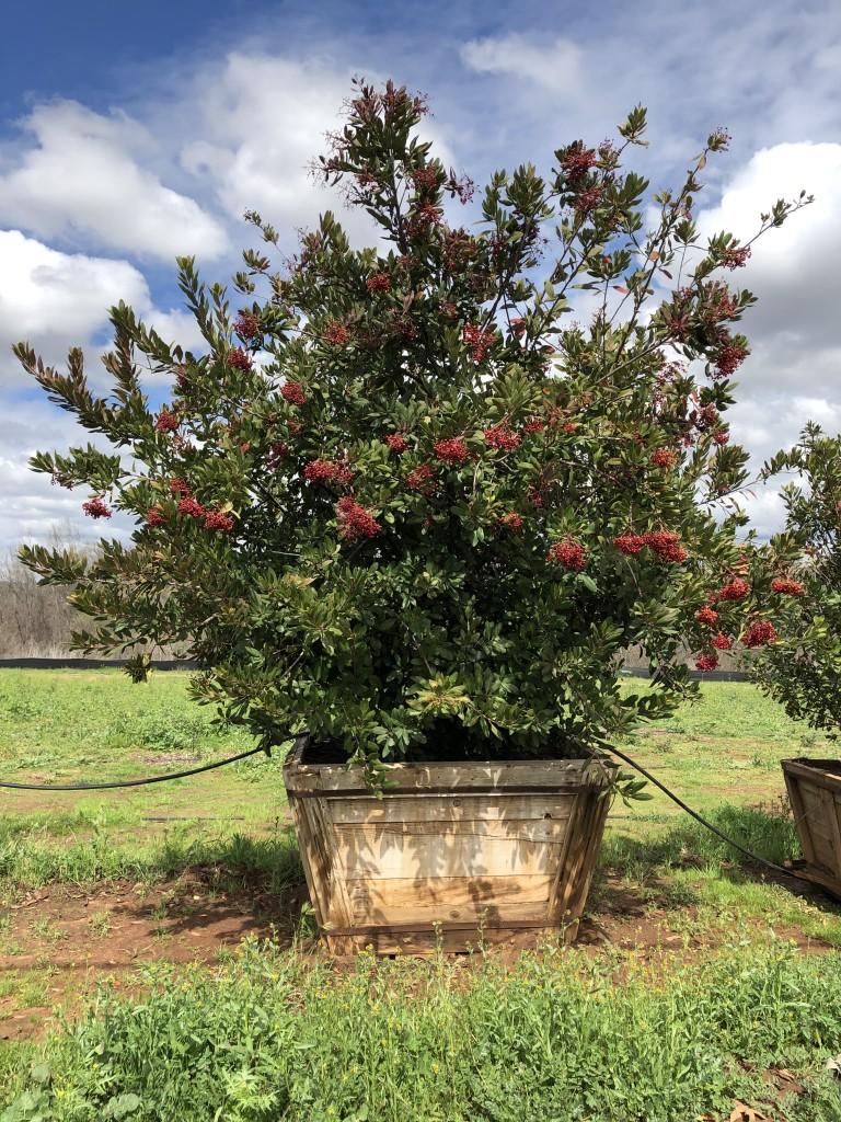 Heteromeles arbutifolia-S-123-60