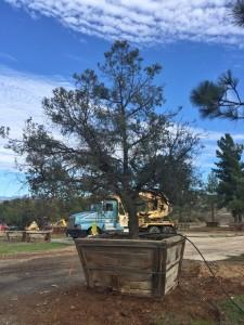 Pinus monophylla – Pinyon Pine