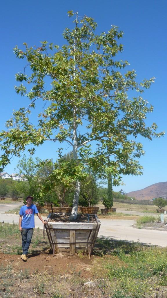Pl racemosa-PM-4-60