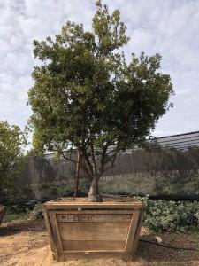 Arbutus unedo – Strawberry Tree
