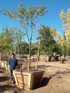 Chorisia speciosa – Floss Silk Tree