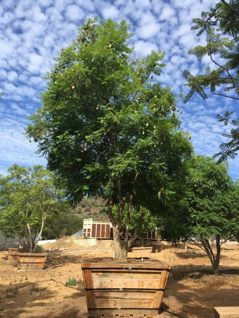 Jacaranda-MS-658-72