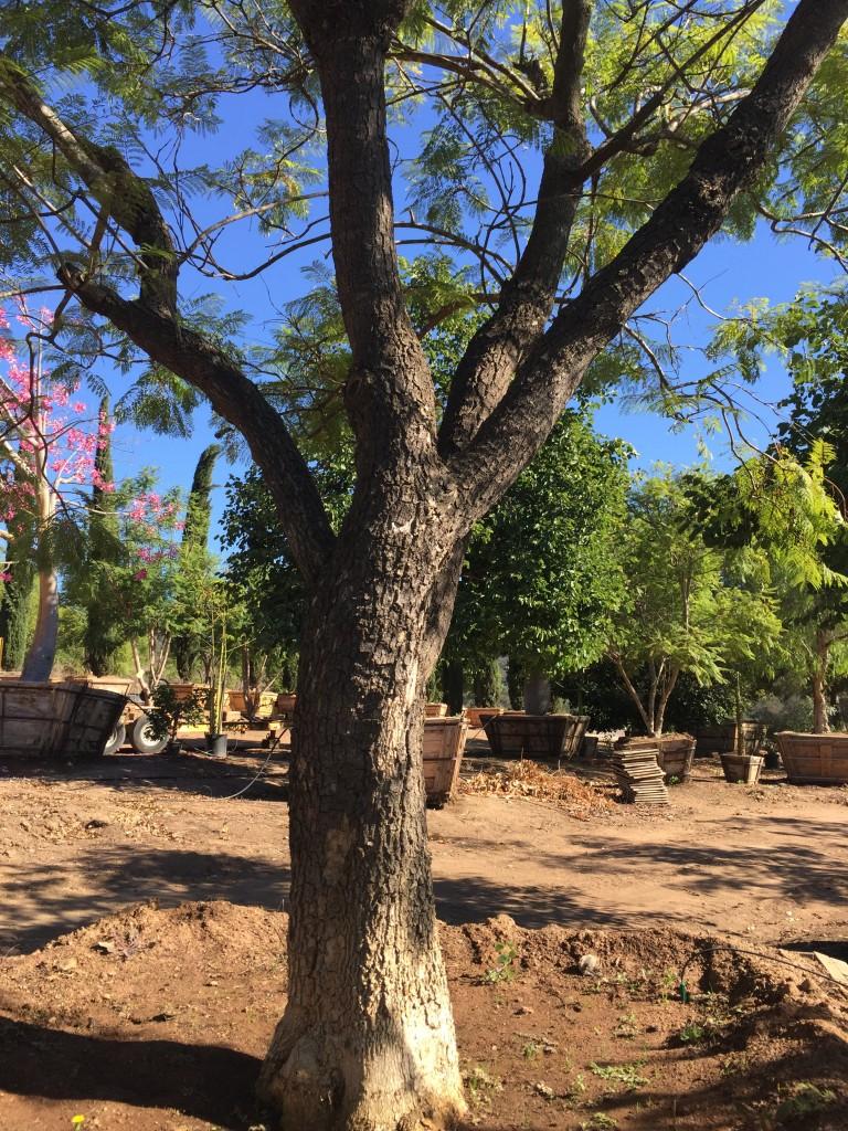 Jacaranda-SM-33-72-trunk-b