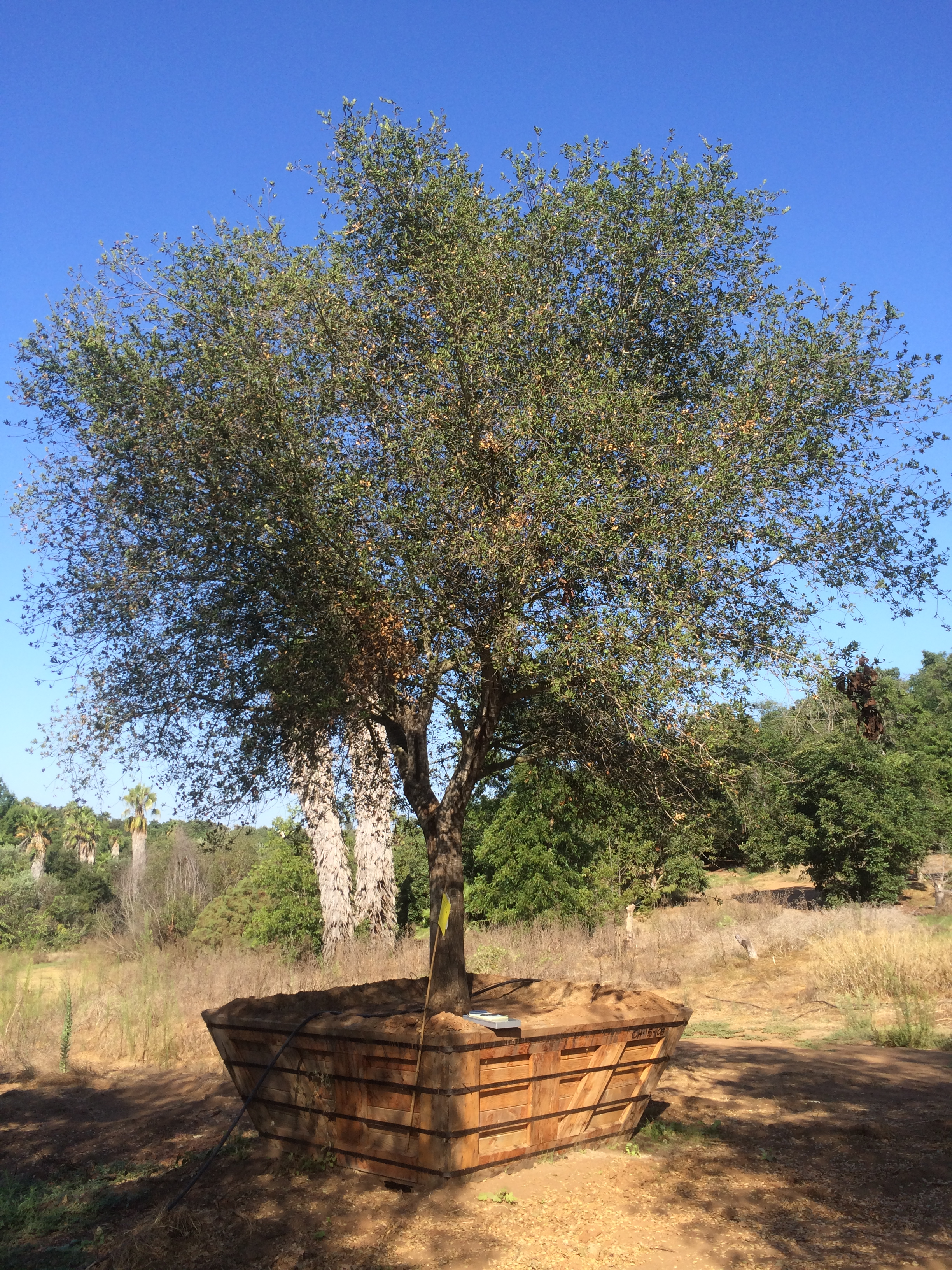 Quercus Agrifolia Coastal Live Oak Big Trees Nursery