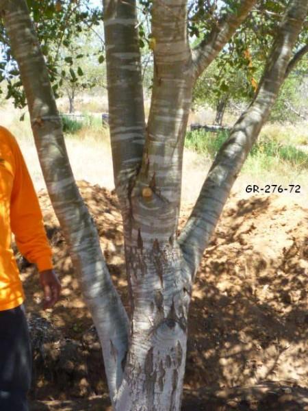 Quercus agrifolia-GR-276-72-trunk