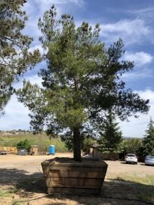 Pinus eldarica – Afghan Pine