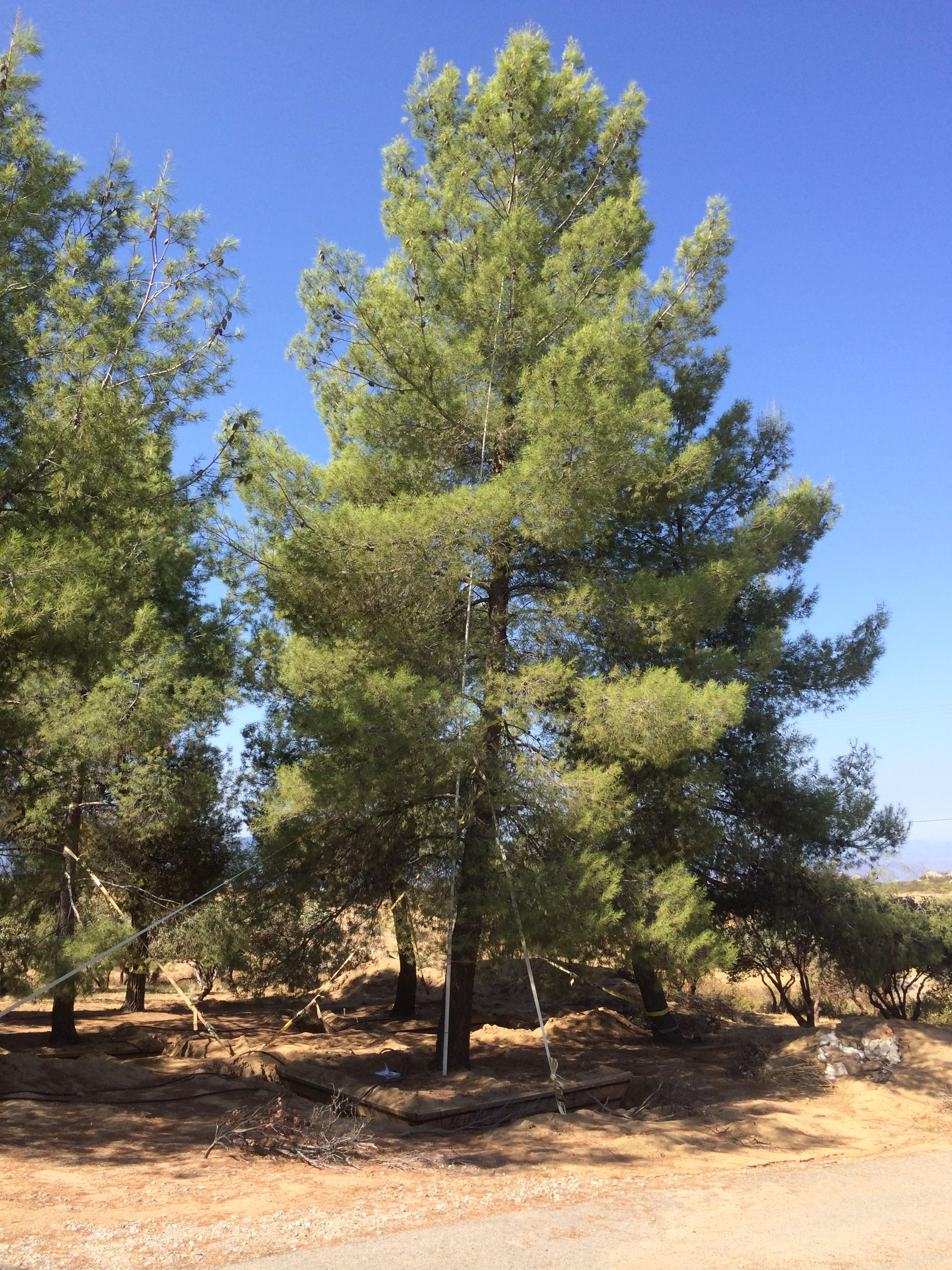 trees pine Mature aleppo