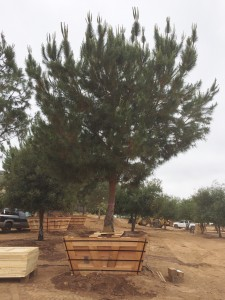 Pinus pinea – Italian Stone Pine