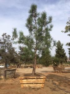 Pinus torreyana – Torrey Pine