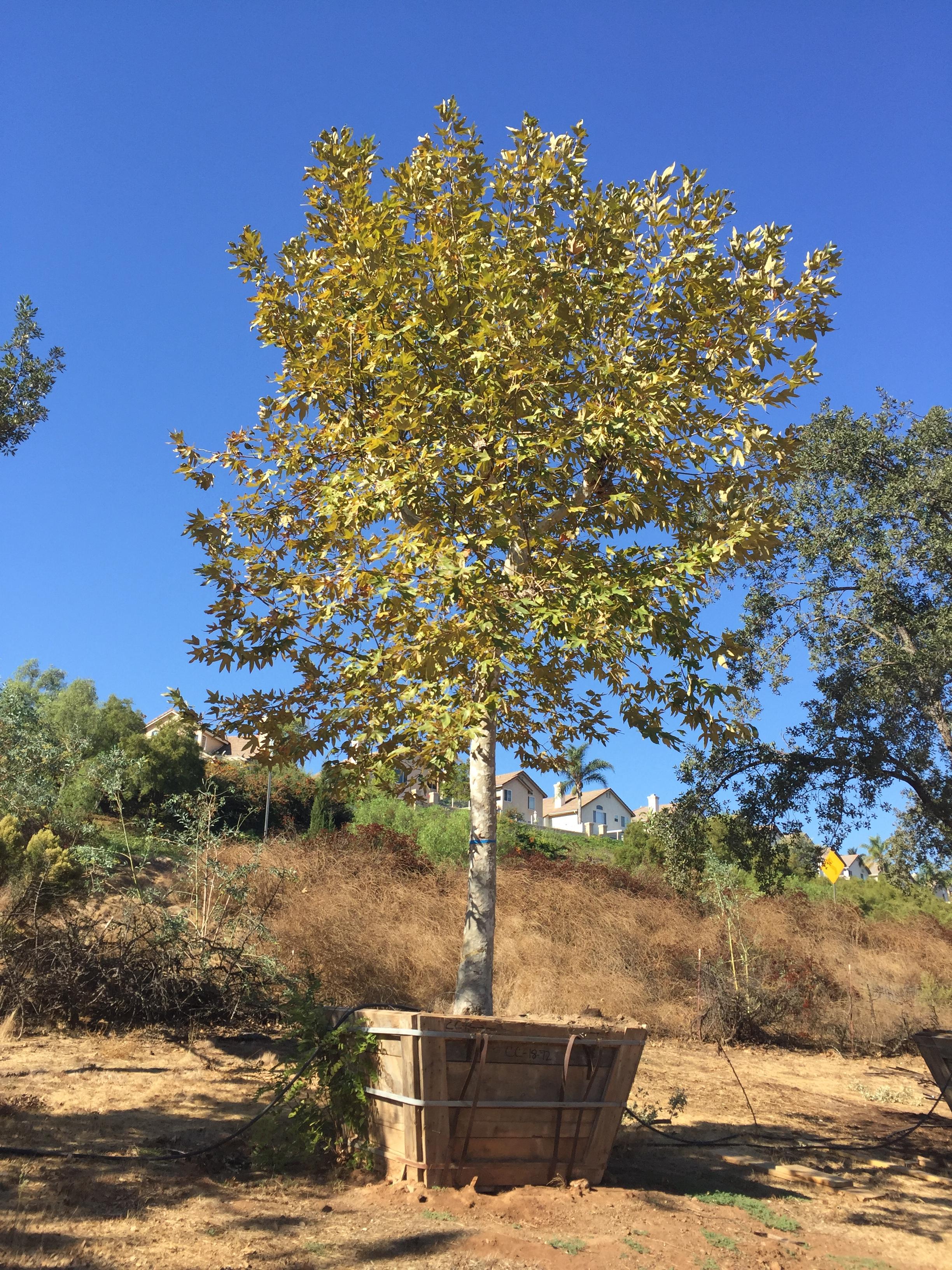 Platanus Racemosa Pollarded California Sycamore Big