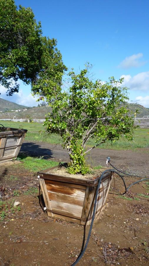 Prunus ilicifolia lyonii-B-8-36