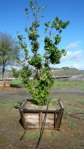 Prunus ilicifolia lyonii – Catalina Cherry