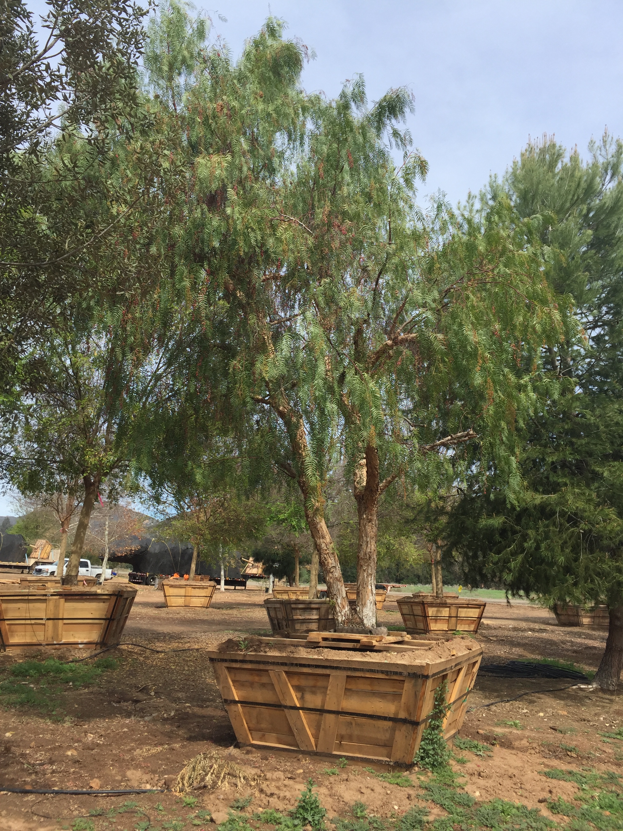 Schinus Molle California Pepper Big Trees Nursery