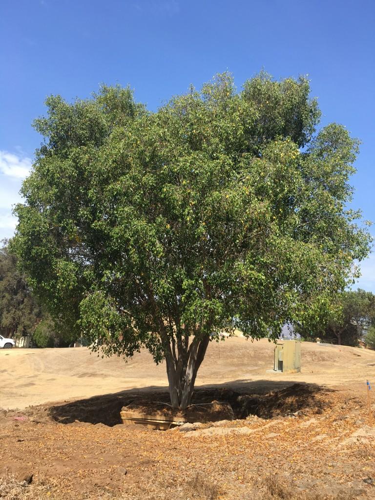 Ficus benjimina-ST-15-120
