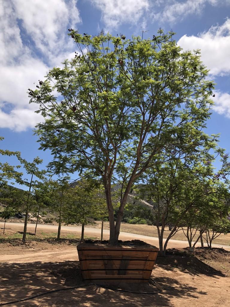 Jacaranda-MS-776-96