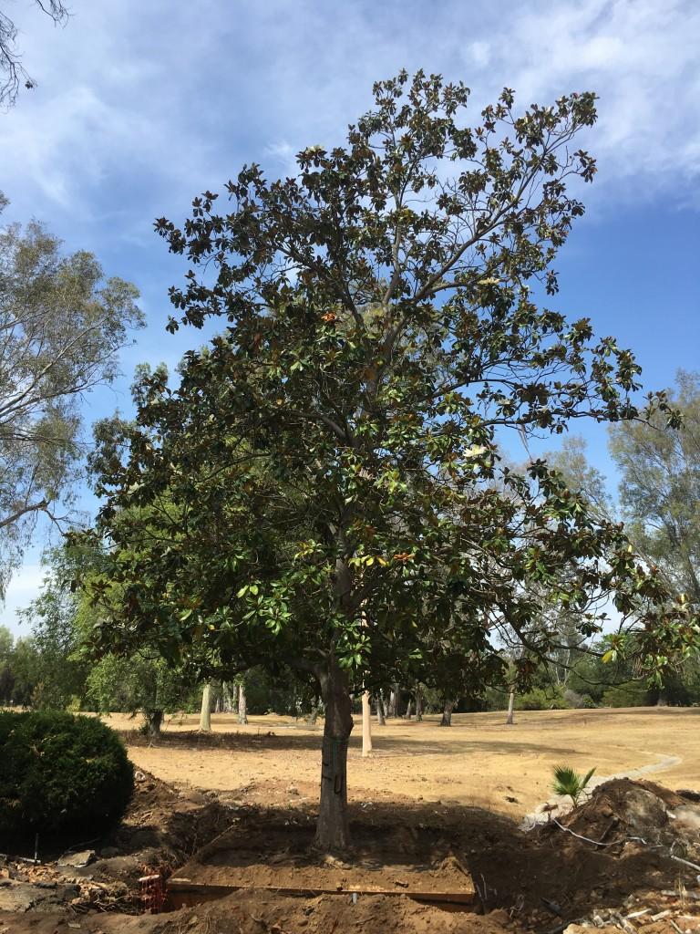 Magnolia-ST-24-120-a