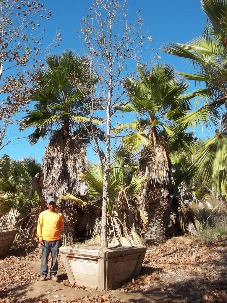 Pl acerifolia-MS-255-48-a
