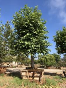 Platanus racemosa / pollarded – California Sycamore