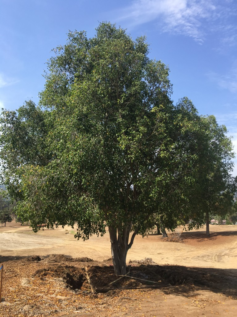 Ficus benjamina-ST-15-120-a
