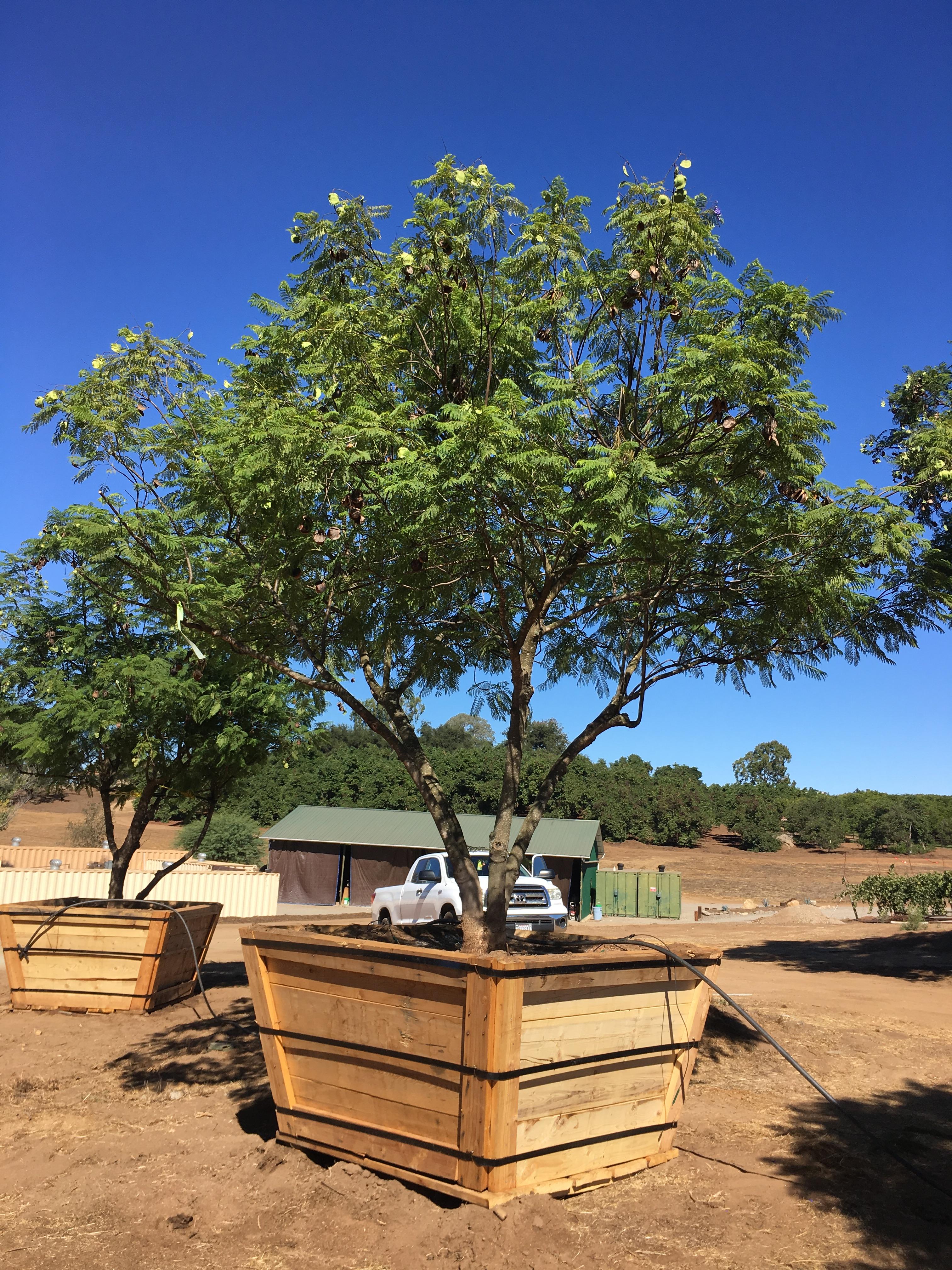 Jacaranda mimosifolia – Jacaranda | Big Trees Nursery