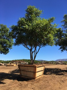 Jacaranda mimosifolia – Jacaranda