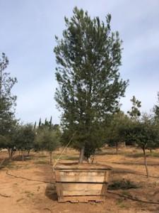 Pinus halepensis – Aleppo pine
