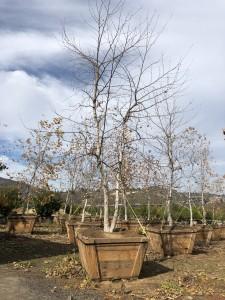 Platanus racemosa – California Sycamore