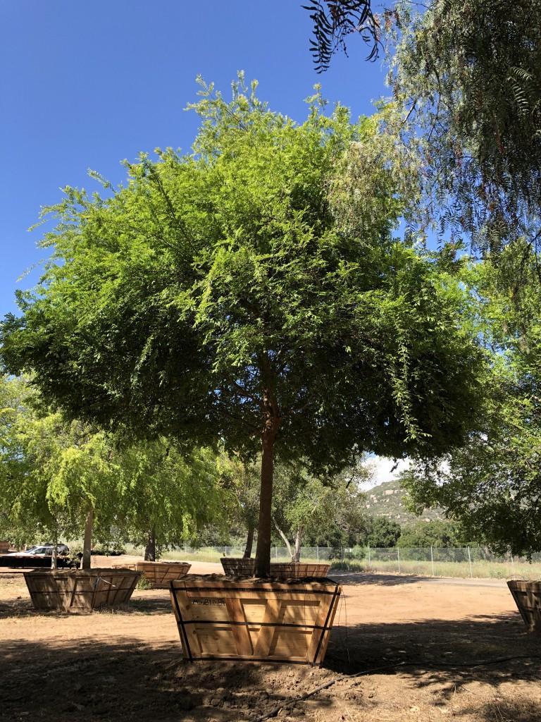 Ulmus parvifolium-MS-820-84-a
