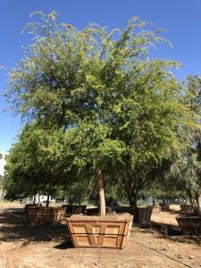 Ulmus parvifolium – Chinese Elm